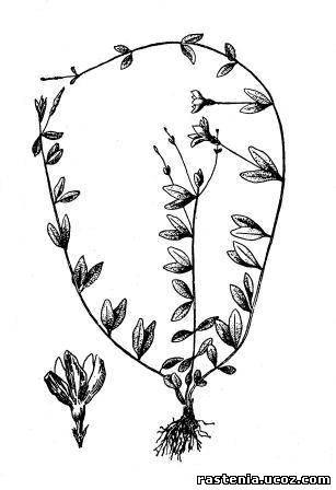 Барвінок травяністий v herbaceue w к